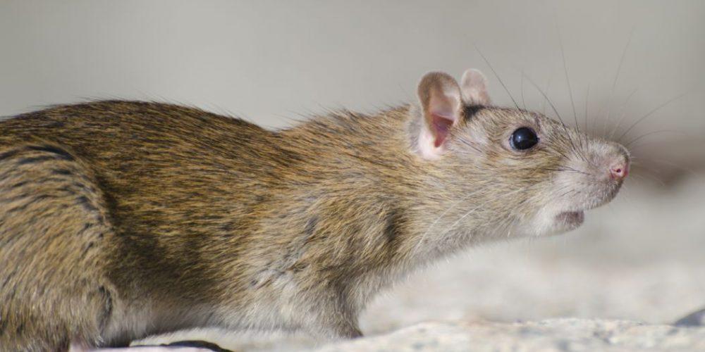 Les méthodes de prévention de la propagation des rats