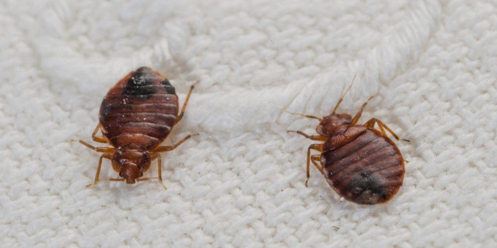 5 signes démontrant que vous êtes infectés par des punaises de lits